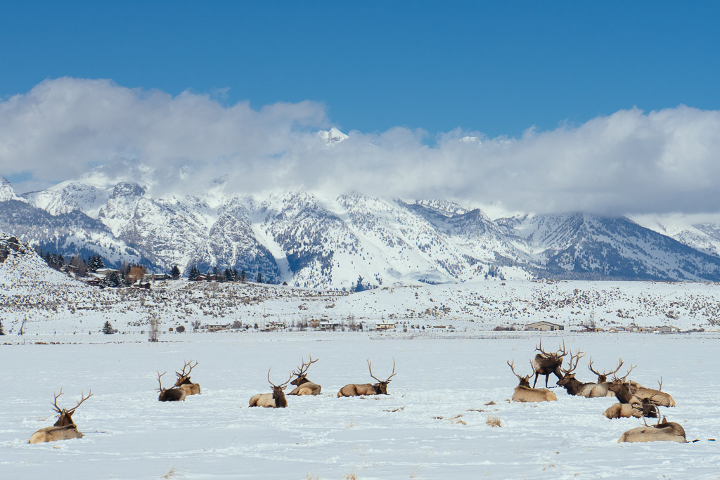 National Elk Refuge, Jackson Hole