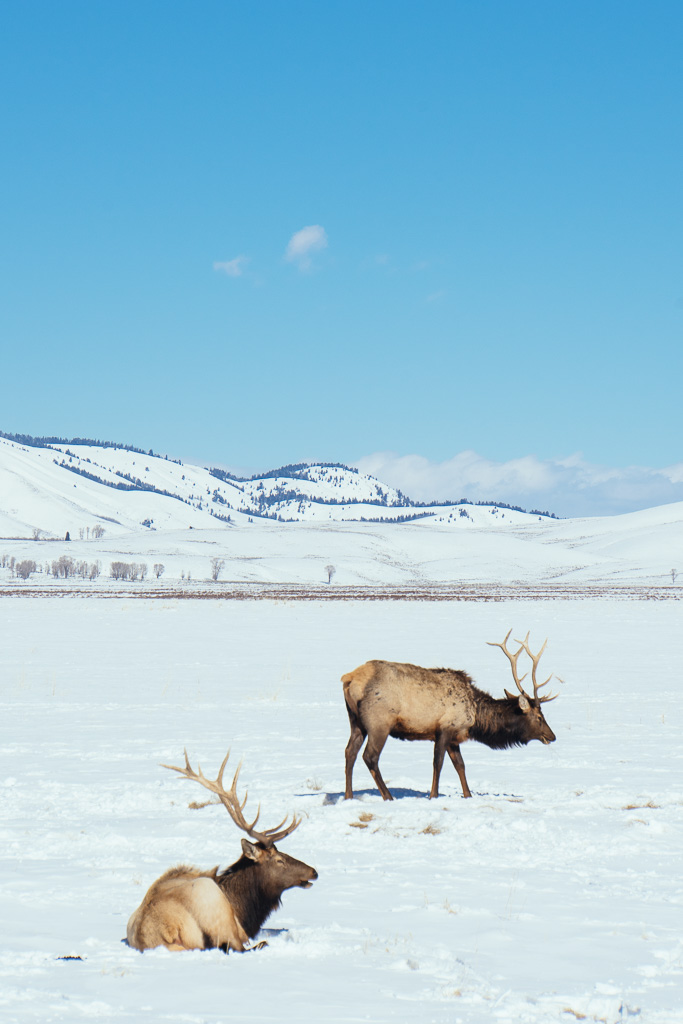 National Elk Refuge, Jackson Hole, what to do in Jackson Hole