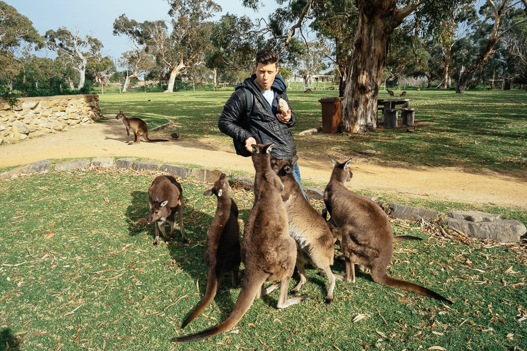how to see kangaroos in south australia